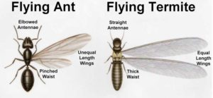 Difference between Ants and Termites