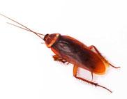 american_roach_crop