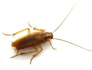german roach • roach control • roach exterminator • roach killer • kill roach