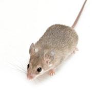 mouse control •mice control • kill mice • exterminate mice • pest control